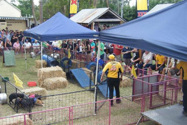 Nindigully pig races